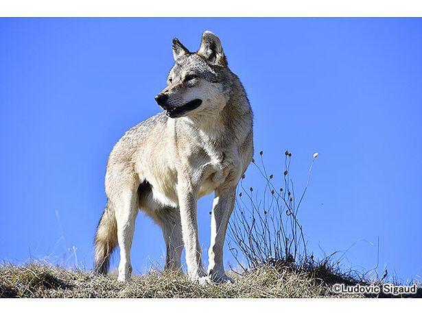 地球ドラマチック「孤高のオオカミ 3000キロの旅路」